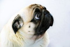 Portrait of a cute pug dog with big sad eyes and a questioning look on a white background. Beige pug with huge eyes on a white background Stock Photo