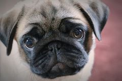 Portrait of a cute pug stock photography