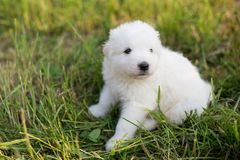 Portrait of cute puppy breed maremmano abruzzese sheepdog sitting in the grass in summer. White fluffy maremma puppy. Portrait of cute puppy breed maremmano Royalty Free Stock Photo