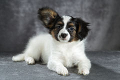 Portrait of a cute puppy breed papillon Royalty Free Stock Images