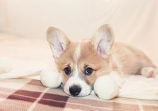 Portrait of cute puppy Corgi lying on the bed and looking sadly forward. Portrait of puppy Corgi lying on the bed and looking sadly forward stock image