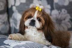Portrait of a cute puppy dog shih tzu with bow lying on a couch at home. Portrait of cute puppy dog shih tzu with bow lying on a couch at home royalty free stock images