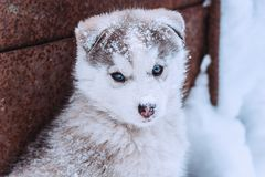 Portrait of a cute puppy of a husky, funny dog with snow on the nose. Near a wall royalty free stock image