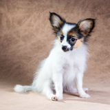 Portrait of a cute puppy Papillon Royalty Free Stock Photography