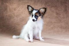 Portrait of a cute puppy Papillon Stock Photography
