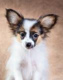 Portrait of a cute puppy Papillon Stock Images
