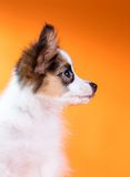 Portrait of a cute puppy Papillon Royalty Free Stock Image