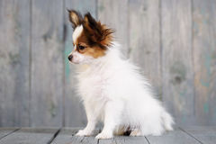 Portrait of a cute puppy Papillon Stock Image