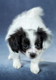Portrait of a cute puppy Papillon Royalty Free Stock Photos