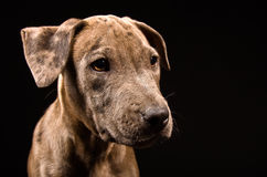 Portrait of a cute puppy pitbull Royalty Free Stock Photo