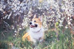 Puppy red dog Corgi on background of cherry blossoms in spring Sunny may garden. Portrait of cute puppy red dog Corgi on  background of cherry blossoms in spring stock photos