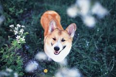 Portrait of cute puppy red dog Corgi funny stuck out pink tongue and looks up at the natural background of cherry blossoms in royalty free stock photography