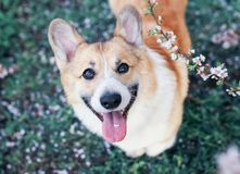 Portrait of cute puppy red dog Corgi funny stuck out pink tongue and looks up at the natural background of cherry blossoms in. Portrait of cute puppy funny stuck royalty free stock photos