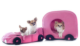 Chihuahuas in car Royalty Free Stock Image