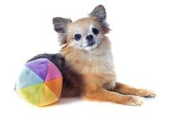 Chihuahua and ball Royalty Free Stock Image
