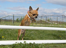 Jumping chihuahua Royalty Free Stock Images