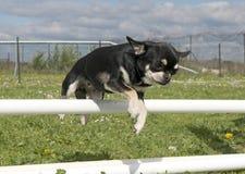 Jumping chihuahua Stock Image