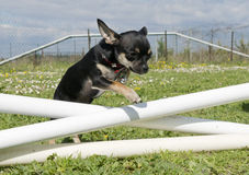 Jumping chihuahua Stock Photos