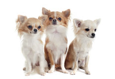 Three chihuahuas Stock Photos