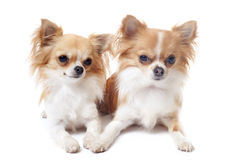 Couple of chihuahuas Stock Images