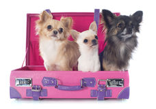 Chihuahuas in suitcase Stock Photography