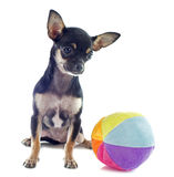 Puppy chihuahua and ball Royalty Free Stock Photos