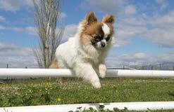 Jumping chihuahua Royalty Free Stock Photos