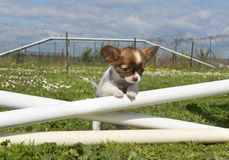 Jumping puppy Royalty Free Stock Images