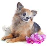 Senior chihuahua Stock Images