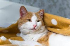 Cute red cat under blanket. Portrait of cute red cat under blanket royalty free stock photography