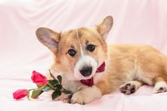 Portrait of cute red dog puppy Corgi lying on fluffy pink plaid with rose flowers. Festive portrait of cute red dog puppy Corgi lying on fluffy pink plaid with stock photos