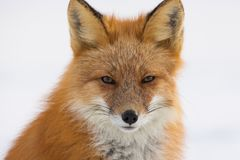 Winter Red Fox in Whitehorse, Yukon, Canada Royalty Free Stock Photography