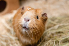 Portrait of cute red guinea pig Royalty Free Stock Photography