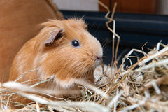 Portrait of cute red guinea pig Stock Images