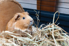 Portrait of cute red guinea pig Royalty Free Stock Images