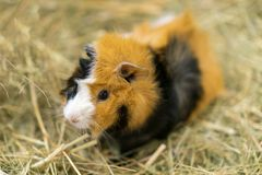 Portrait of cute red guinea pig. Close up photo stock photography