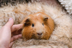 Portrait of cute red guinea pig. royalty free stock image