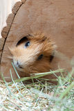 Portrait of cute red guinea pig in wooden house Royalty Free Stock Photography
