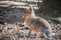 Portrait of cute red necked wallaby kangaroo. Slovenia Royalty Free Stock Photo