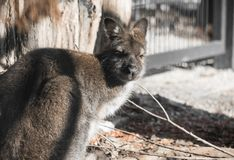 Portrait of cute red necked wallaby kangaroo. Slovenia Royalty Free Stock Image