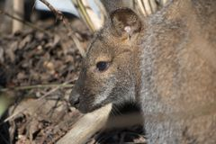 Portrait of cute red necked wallaby kangaroo Stock Images