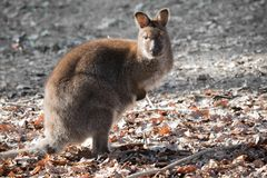 Portrait of cute red necked wallaby kangaroo. Slovenia Stock Photo