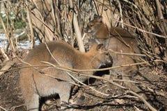 Portrait of cute red necked wallaby kangaroo. Slovenia Stock Photos