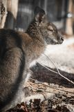 Portrait of cute red necked wallaby kangaroo. Slovenia Stock Image