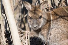 Portrait of cute red necked wallaby kangaroo Stock Photos
