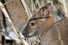 Portrait of cute red necked wallaby kangaroo Stock Photo