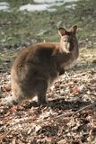 Portrait of cute red necked wallaby kangaroo Royalty Free Stock Image