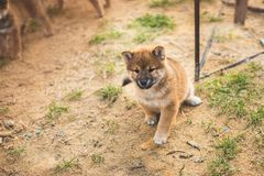 Portrait of cute red shiba inu puppy sitting outside on the ground and looking to the camera stock photo