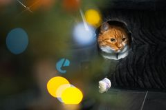 Portrait of cute red white cat hiding of black box. With bokeh royalty free stock photo