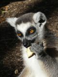 Cute Ringtailed Lemur Eating. Portrait of cute Ringtailed Lemur with big fluffy ears, enjoying eating eating his lunch royalty free stock image